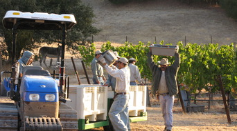 Chambers malbec 7 is harvested