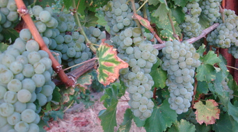 Bevill Sauvignon Blanc a day before harvest