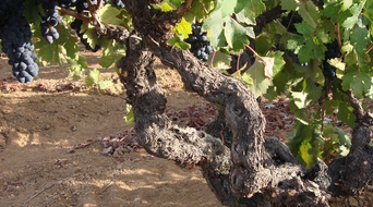 Forchini Old Vine Zinfandel....our one ton