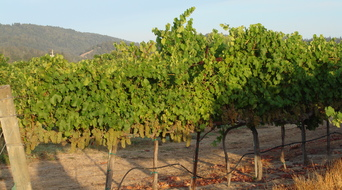 Bevill Viognier at sunrise