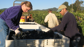 Forchini Zinfandel is sorted by hand in the vineyard