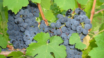 Winery ranch petite sirah is picture perfect