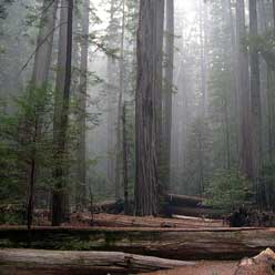 Forest_Sequoia_248