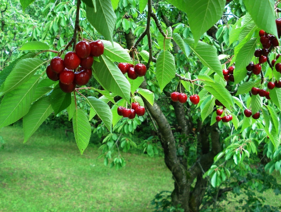 cherry picking by Julie Falk
