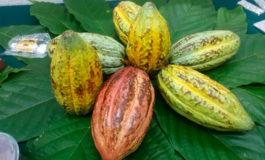 A 1,600 toneladas sube producción de cacao