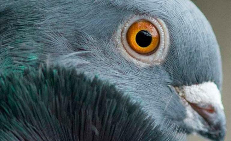 """Las palomas no tienen un """"cerebro de pájaro"""": Según estudio"""