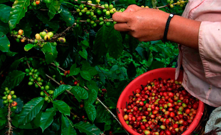 Bajos precios internacionales y cambio climático afectan al café de Honduras