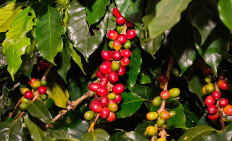 Más de $285 millones en café ha exportado Honduras