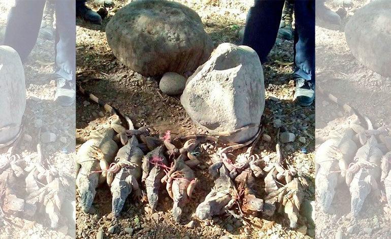 MP decomisa iguanas y garrobos en Choluteca