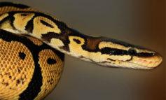 Descubren una serpiente con dos cabezas y dos corazones