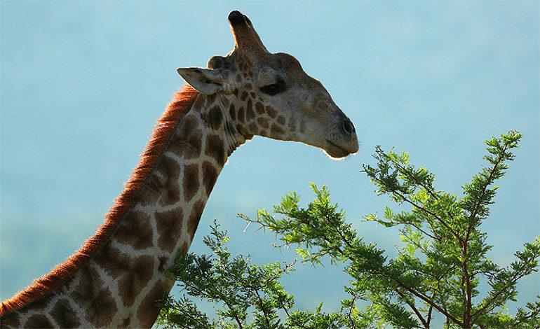 Jirafas entran a la lista de especies en peligro de extinción