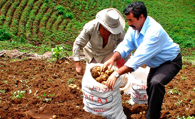 El cultivo de la papa en Honduras