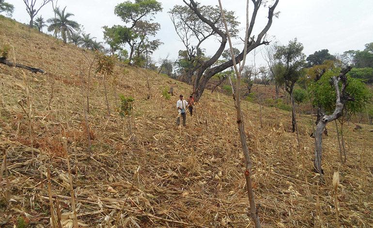 Emergencia en Orocuina por pérdida de cultivos en 90%