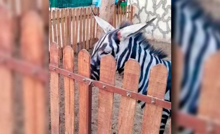 Un zoológico les pintó rayas a los burros para que parezcan cebras