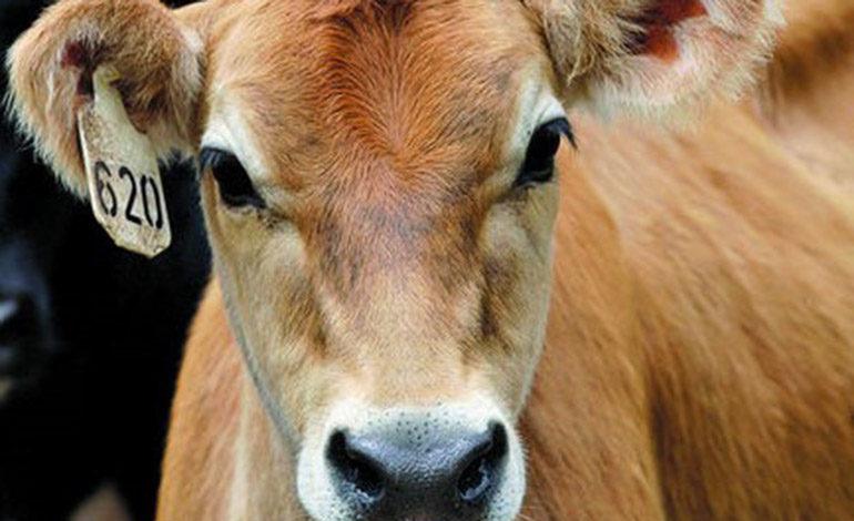 Honduras avanza en el control y erradicación de enfermedades del ganado