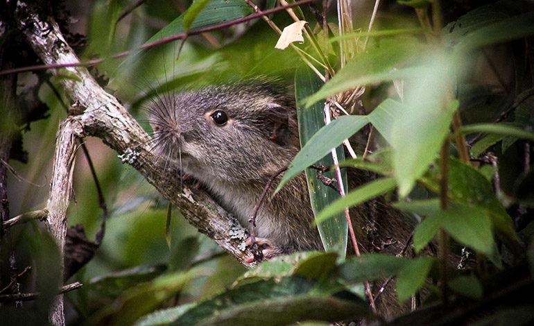 "Reaparece la ""rata de bambú"" en Machu Picchu, una especie rara de roedor"