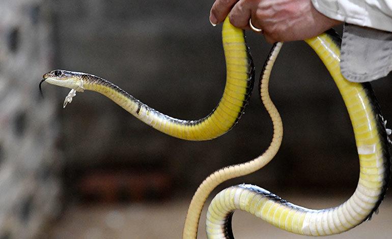 En Vietnam, las serpientes se comen fritas o como salchichas