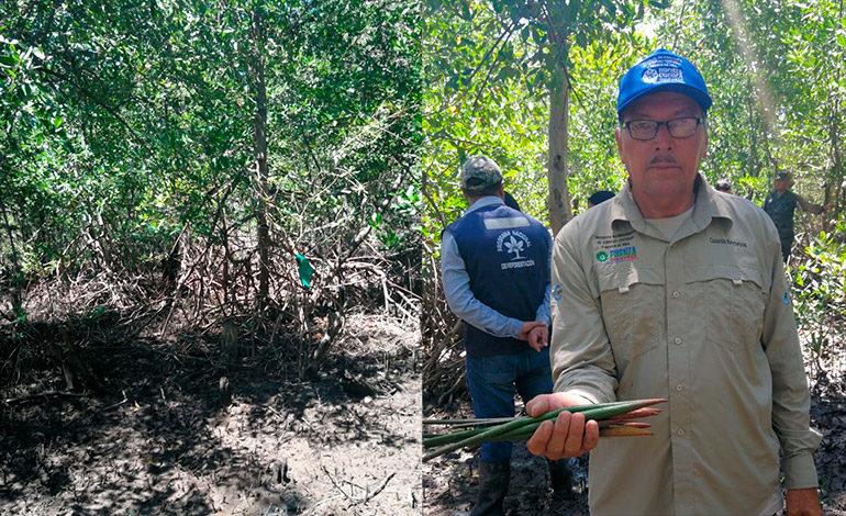Restauran 80 hectáreas de bosque manglar en la bahía de chismuyo