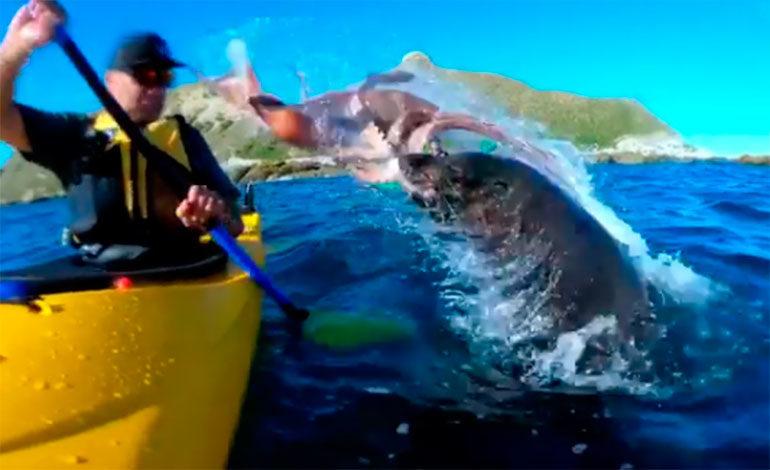 Un piragüista es abofeteado por una foca con un pulpo atrapado en su boca (Video)