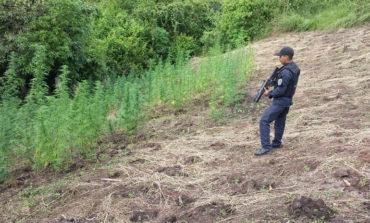 Encuentran 1,100 plantas de marihuana en Yoro