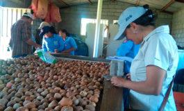 Estudiantes de El Paraíso preparan viveros de aguacate de la variedad Antillano