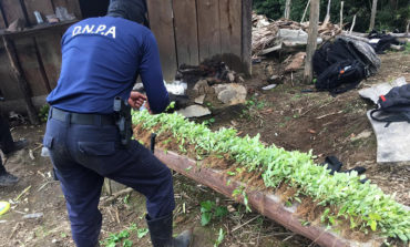 Localizan 5,000 plantas de hoja de coca en Yoro