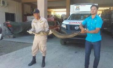 Encuentran una boa constrictora en Puerto Cortés