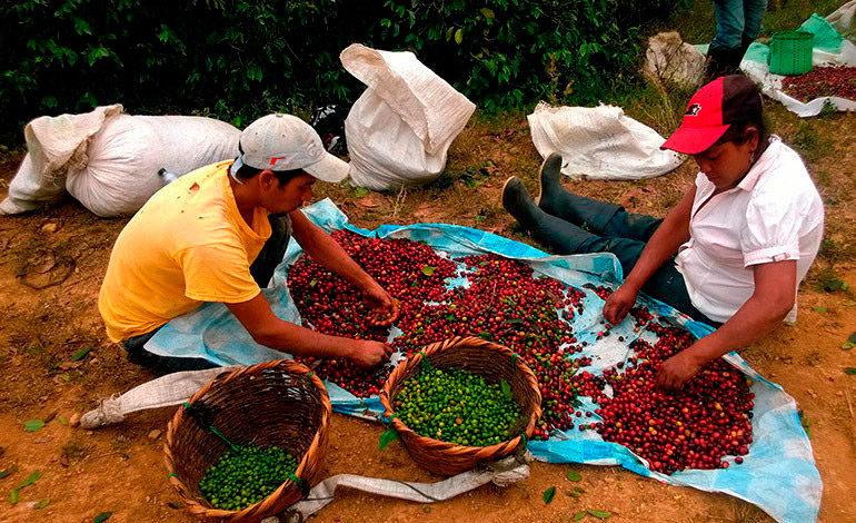 Con mayor volumen de café compensarán caída de divisas