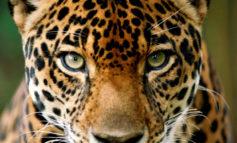 Descubren importante población de jaguares en selva de La Mosquitia