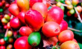 $106 millones ha generado la venta de café
