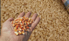 Carga de maíz acumula alzas de L190 alertan consumidores