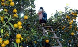 Inician acciones para prevenir plagas en cultivos de mandarina