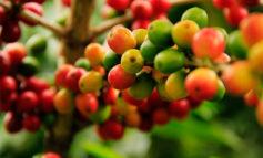 El 60% de las variedades de café silvestre está en peligro de extinción