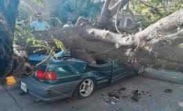Enorme árbol cae sobre un vehículo en Tegucigalpa (Video)