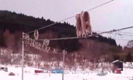 El paseo por cuerda floja de unos monos en Japón se vuelve viral (Video)