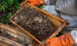 Los pesticidas de los cocales bolivianos amenazan la supervivencia de las abejas
