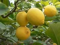 Limon tucumano