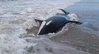 Orcas varada arena mar chiquita