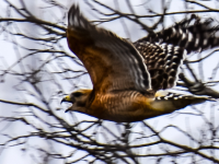Hawk on the hunt