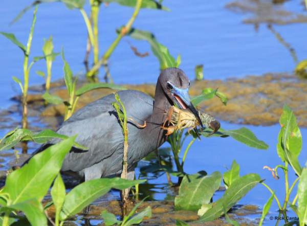 Little Blue Heron by Rick Cantu