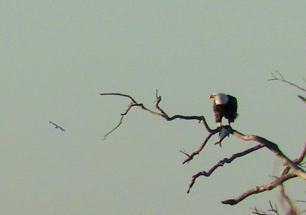 Eagles on Lake Texoma