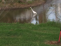 Great Egret buffet