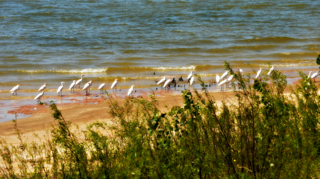 March of the Egrets