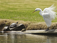 Egret with Turtles