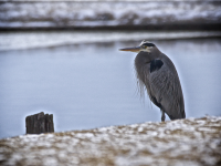 Great Blue Heron During Winter