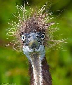 Bad Hair Day Ostrich