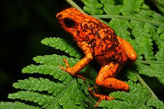 little devil poison frog
