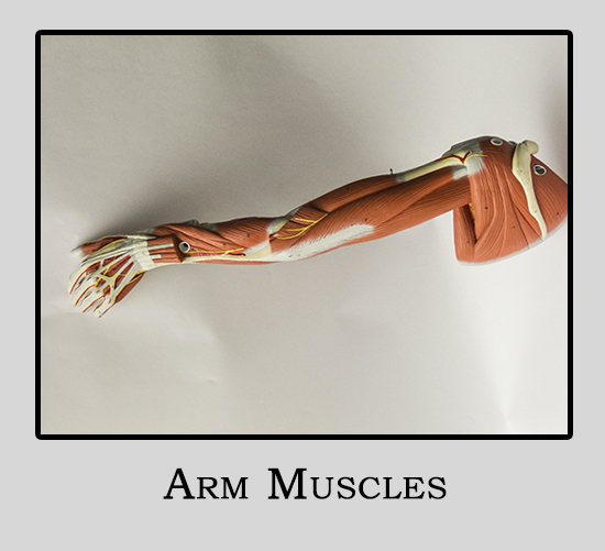 Human Model Arm Muscles