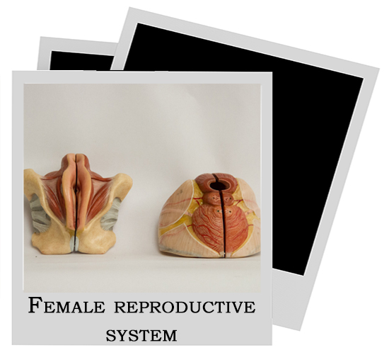 Human Model Reproductive System Female