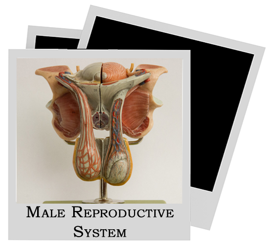 Human Model Reproductive System Male
